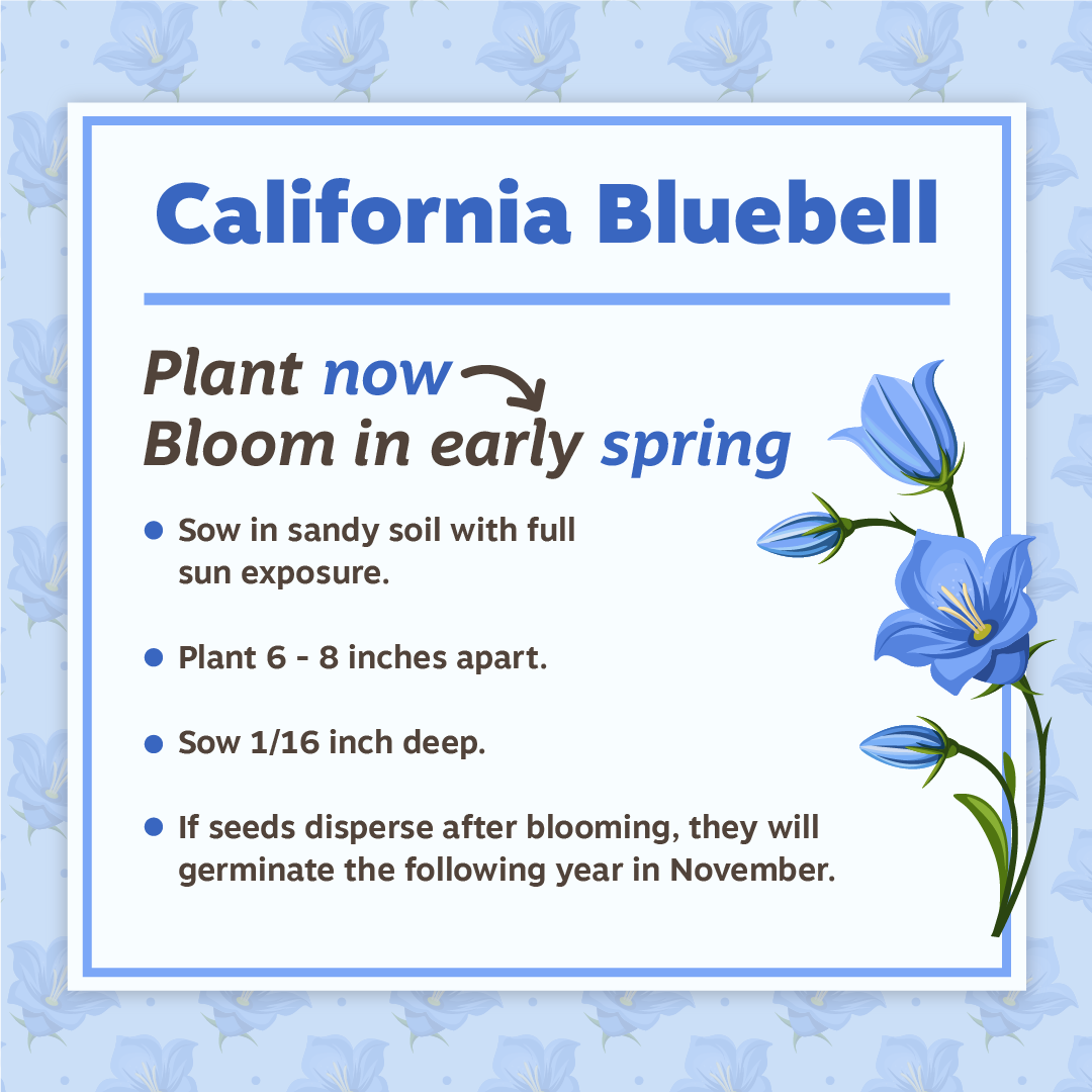 Nov19 Californai Bluebell