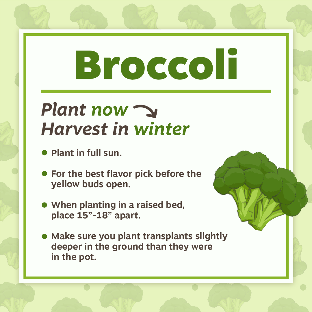 Nov19 Broccoli