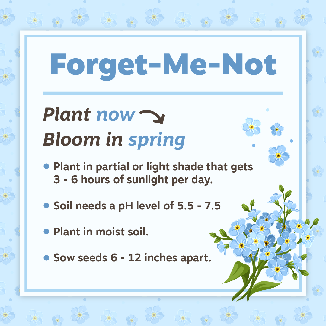 Nov19 Forget-Me-Not