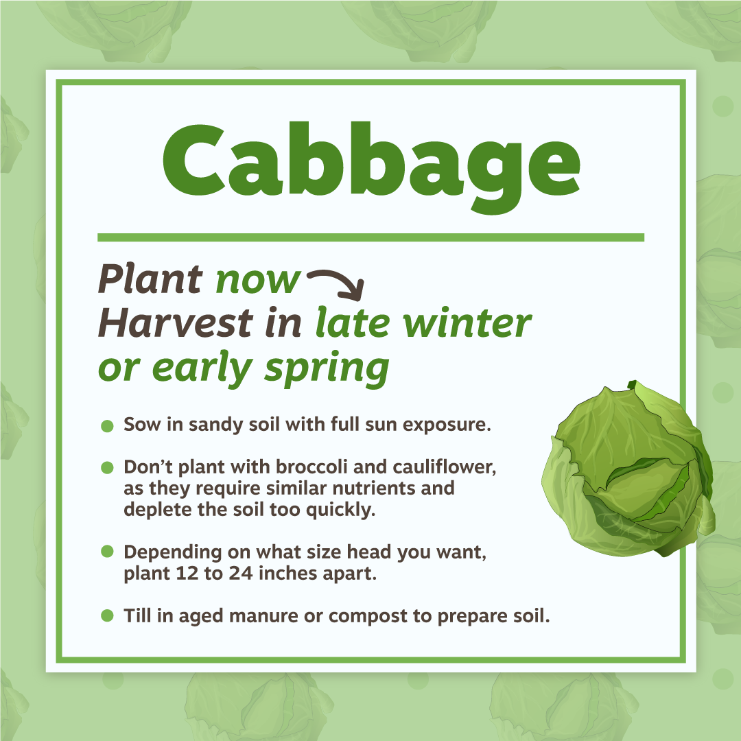 Cabbage Planting Tips