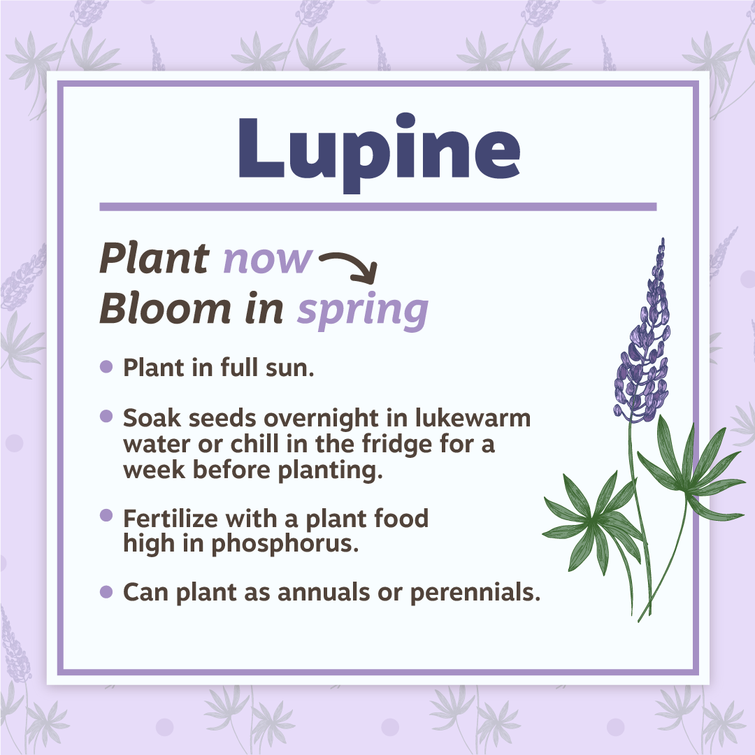 Lupine Planting Tips