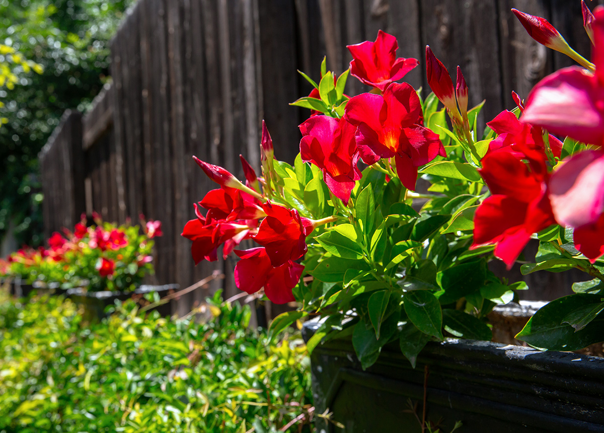 Potted Red Flowers