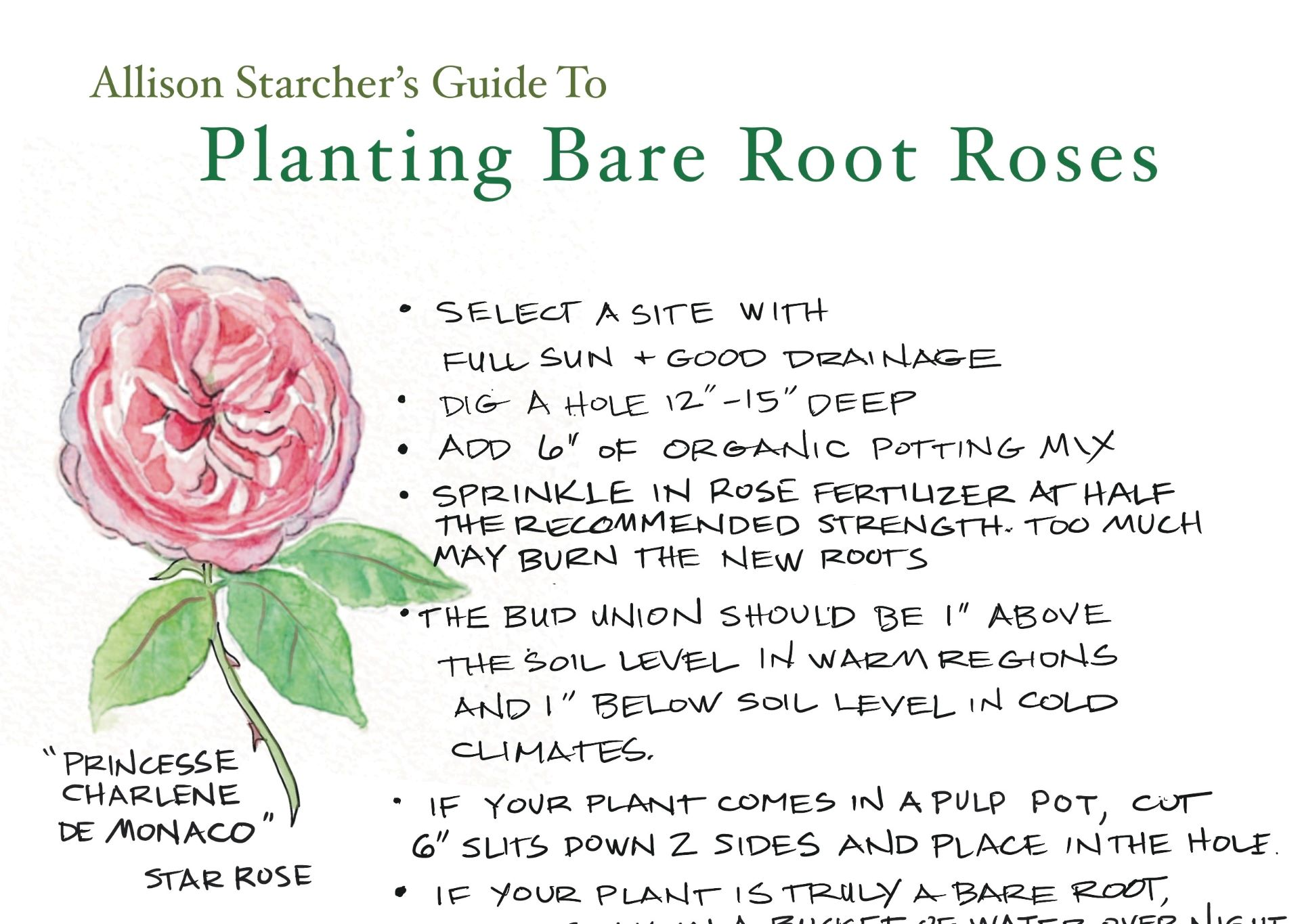 Bare Root Rose Planting Guide