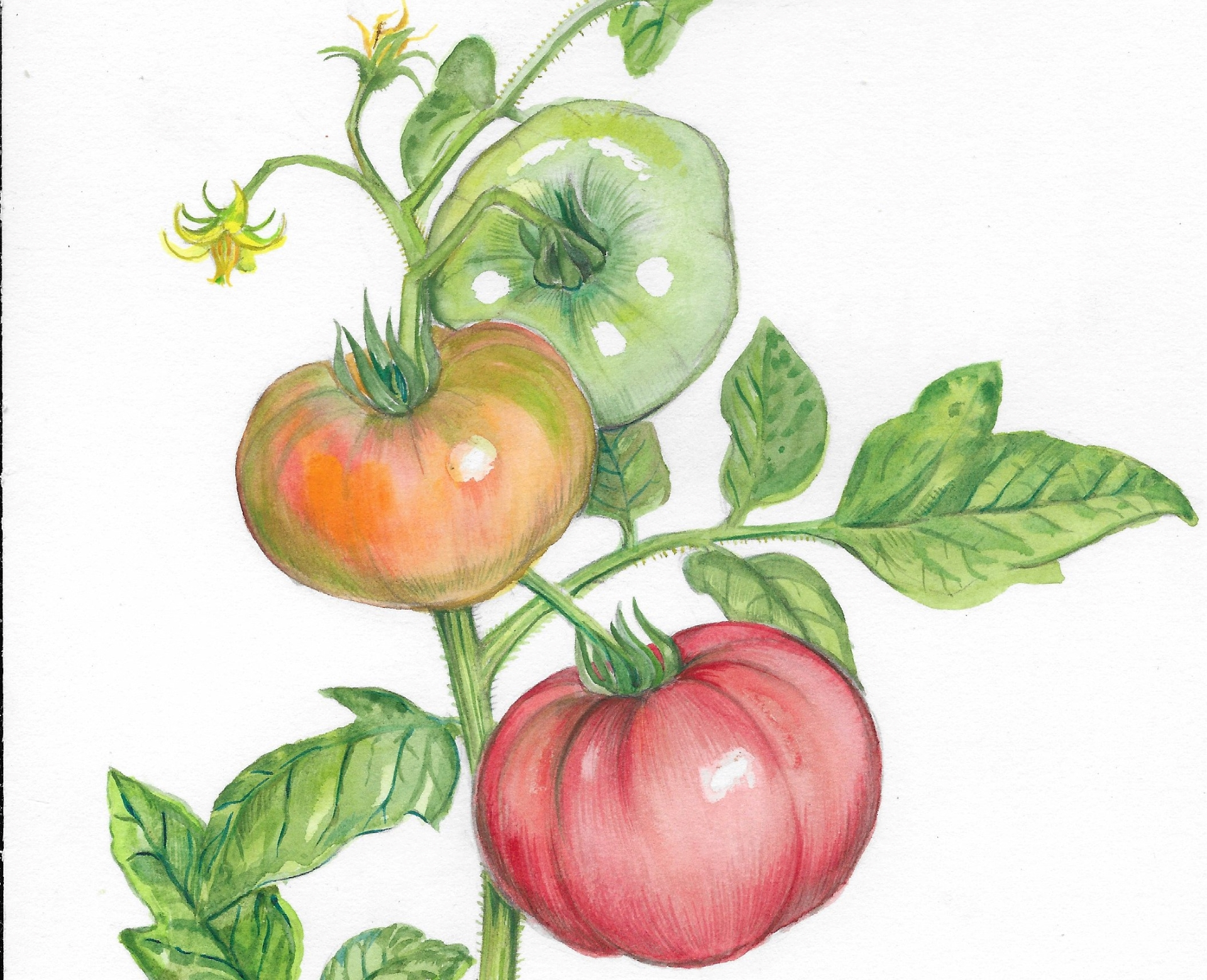 Tomato Anxiety: So many choices, so little time!